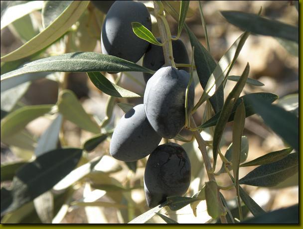 橄榄树果实